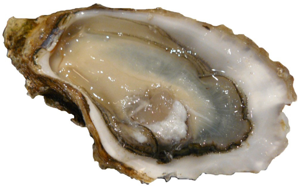 Oysters, an aphrodisiac or not?